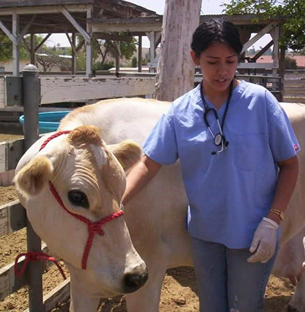 CSU veterinary staff with cow